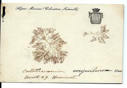 ALGUE MARINE Naturelle Sur Carte 1907 - Flowers, Plants & Trees