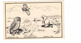 """Burrowing Owl, Red-Tailed Hawk, Prairie Dog, By Canadian Artist """"T M Shortt"""", Non-postcard Back - Other Illustrators"""