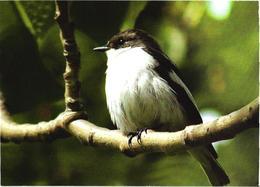 Bird On Tree, Ficedula Hypoleuca - Oiseaux