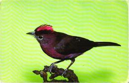 Bird On Tree, Roter Kronfink - Oiseaux