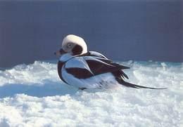 Greenland Gronland Groenland Kobenbavn Kalaallit Allakkeriviat Foto Frank Wille Eend Duck Bird   Barry 4356 - Greenland