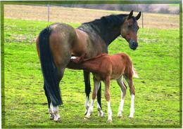 Horse Milking Foal - Cavalli