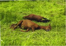 Sleeping Horses - Paarden