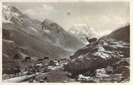 SUISSE Des Chèvres à L'Alpe De Lucelle Dans Le Valais - VS Valais