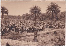 500 FORECARIAH - PLANTATION DE BANANES - UN AGRICULTEUR AFRICAIN - Guinee