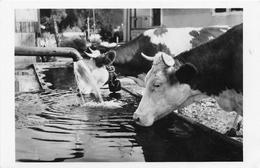 MALBUISSON - Vaches à L'abreuvoir (CPSM Petit Format) - France