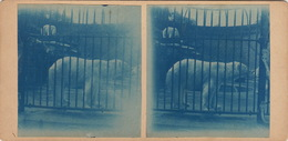 Photo Stéréo Pays Bas Hollande Cyanotype Ours Polaire Zoo - Stereo-Photographie