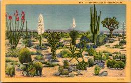 Cactus A Few Varieties Of Desert Cacti Curteich - Cactusses