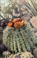 Cactus Barrel Cactus In Bloom Curteich - Cactusses