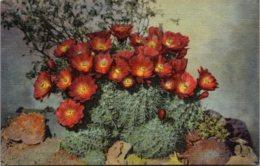 Cactus Hedgehog Cactus In Bloom Curteich - Cactusses
