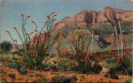 Cactus Ocotillo Cactus In Bloom 1944 Curteich - Cactusses