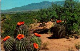 Cactus Barrel Cactus In Bloom On The Desert 1968 - Cactusses