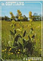 La GENTIANE D ' Auvergne - Medicinal Plants