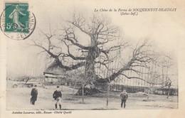 BEAUVAL-en-CAUX (Seine-Maritime): Le Chêne De La Ferme De SOCQUENTOT-BEAUNAY - France