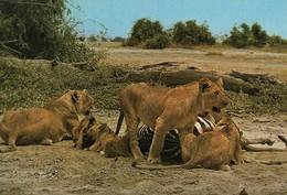 CARTE POSTALE 10CM/15CM DENTELEE EDITIONS EAST AFRICA MOMBASA KENYA : LIONS WITH A KILL DES LIONS QUI TUE - Kenya