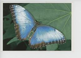 Papillon Morpho Peleides (Costa Rica) - Le Jardin Des Papillons - Papillons