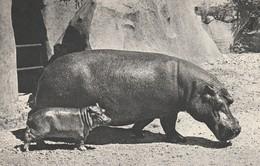Rare Cpa Hippopotames - Hippopotamuses