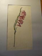 Fleur-Botanique-Planche Aquarellée Originale 39 X 28 Cm - 1901-1940