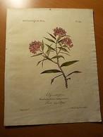 Planche De Botanique-Rose Des Alpes-Fleurs-Rhododendrum Rubiginosum-Lithographie - 1901-1940