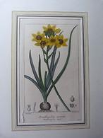 Planche De Botanique Ancienne Gravée-Ornithogale Doré-Ornithogalum Aureum - Livres, BD, Revues