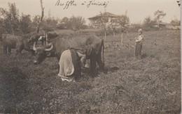 Macedoine  Jenikoj  Buffle  (2 Scan) 1910 - Macédoine