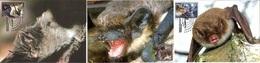 Belarus 565/67 Fdc Chauve-souris - Bats