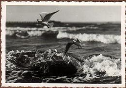Photo Originale Oiseaux - Vol De Mouettes En Raz De Mer - Persone Anonimi