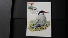"""BUZIN - Carte Oiseaux CM : Numéro 4306 """"Sterne Arctique"""" - Maximum Cards"""