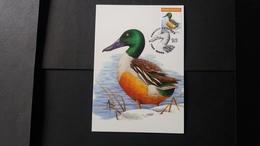 """BUZIN - Carte Oiseaux CM : Numéro 4537 """"Canard Souchet"""" - Maximum Cards"""
