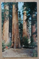 Yosemite National Park Mariposa Grove California - Yosemite