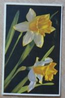 Narcissus Pseudonarcissus Narzisse Daffodils Jonquilles - Flores