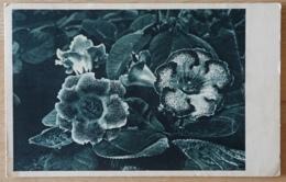 Priemel Blumen Flowers - Flores