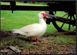 D4802 - TOP Ente Moschusente - Bild Und Heimat Reichenbach Qualitätskarte - Vögel