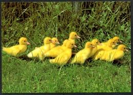 D4807 - TOP Ente Kücken - Bild Und Heimat Reichenbach Qualitätskarte - Vögel