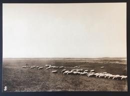 """Peer ORIGINELE FOTO - """"De Oude Kempen"""" - 1902 - Edmond JAMINÉ - Herder Hond Met Schapen Kudde Op Heide - 20,5x14,5 Cm - Peer"""