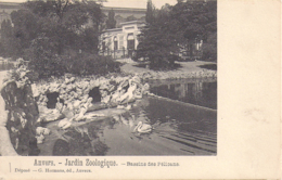 Antwerpen - Anvers: Dierentuin - Zoo - Jardin Zoologique - Bassins Des Pélicans - Pelikanen - Pelikaan - Oiseaux