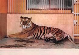 Zoo De Montevran Chaumont Sur Tharonne Tigre - France