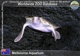 442 Melbourne Aquarium, AU - Flatback Sea Turtle (Natator Depressus) - Melbourne