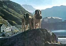 Chien St Bernard    AO 22 - Hunde
