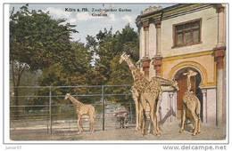 Allemagne, Cologne, Koln, Zoo, Girafs - Koeln