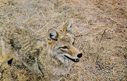Western Coyote - Animal - Unused - 2 Scans - Animals