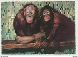 AK  Hagenbeck Tierpark Zoo Hamburg Stellingen Orang Utan - Scimmie
