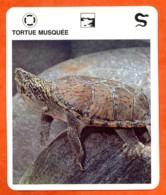 TORTUE MUSQUEE Reptiles Animal Fiche Illustree Documentée - Animales