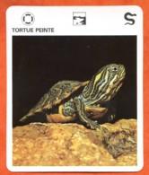TORTUE PEINTE Reptiles Animal Fiche Illustree Documentée - Animales