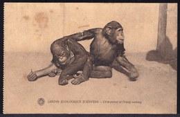 ANVERS - ANTWERPEN ---- ZOO - JARDIN ZOOLOGIQUE - CHIMPANZE ET ORANG OUTANG - APES - Antwerpen