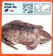 TORTUE A GROSSE TETE Reptile Animaux Animal Fiche Illustree Documentée - Animales