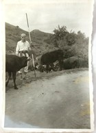 №91 Photography Of One-eyed Shepherd Of The Cattle, Cows - Sofia 1957, Old PHOTO - Professions