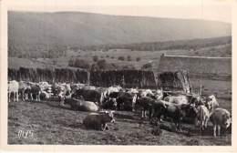48 - Paturages Dans L'AUBRAC ( Important Troupeau De Vaches ) CPSM Photo Noir Blanc Format CPA - Lozère - France