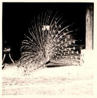 Photo Carrée Originale 30 Millions D'Amis La Paon Faisant La Roue Vers 1960 - Oiseau - Personnes Anonymes