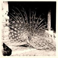 Photo Carrée Originale 30 Millions D'Amis - Cul De Poule & Paon Faisant La Roue Vers 1960 - Oiseau - Personnes Anonymes